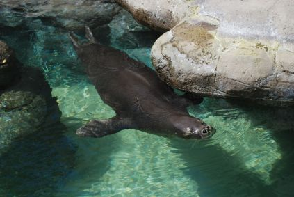 A Hawaiian Monk Seal at Waikiki Aquarium