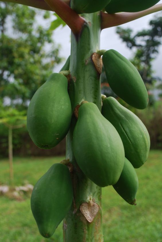 A papaya tree